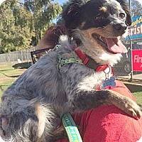 Adopt A Pet :: Emily-Toy Aussie - Sherman Oaks, CA
