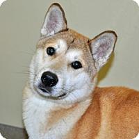 Adopt A Pet :: Kincade - Port Washington, NY