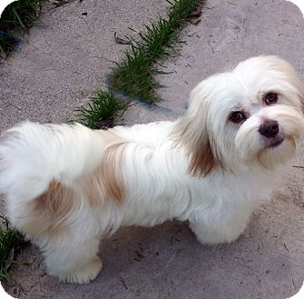 Lhasa Happy Homes Dog Rescue