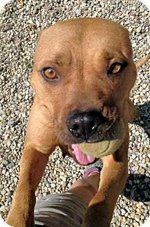 American Staffordshire Terrier Mix Dog for adoption in Manchester, Missouri - Dora