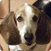 Adopt A Pet :: Copper - Fort Lauderdale, FL