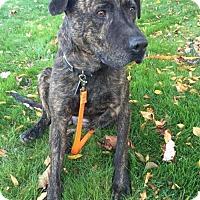 Adopt A Pet :: Kormac - Livonia, MI
