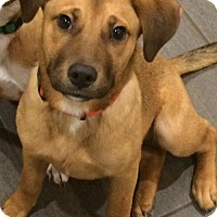 Adopt A Pet :: Joy - PENDING - Grafton, WI