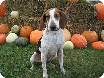 Treeing Walker Coonhound/Treeing Walker Coonhound Mix Dog for adoption in Maryville, Tennessee - Boone