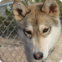 Siberian Husky Dog for adoption in Alamogordo, New Mexico - Frodo
