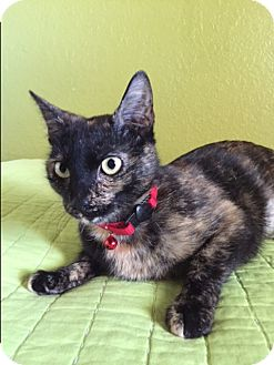 Domestic Shorthair Cat for adoption in Phoenix, Arizona - Molly