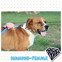 Adopt A Pet :: Diamond (Pom-dc) - Washington, DC
