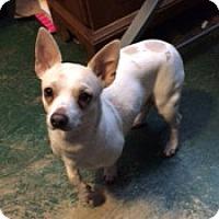 Chihuahua Dog for adoption in Durham, North Carolina - Sidney