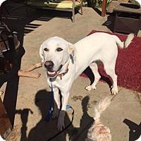 Adopt A Pet :: Sarge - Vacaville, CA