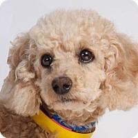 Adopt A Pet :: Bella - Colorado Springs, CO