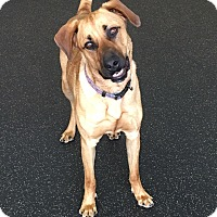 German Shepherd Dog Mix Dog for adoption in Battle Creek, Michigan - Champ