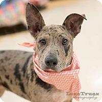 Adopt A Pet :: Libby - Frisco, TX