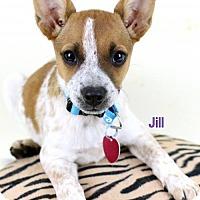 Adopt A Pet :: Jill - Bloomington, MN