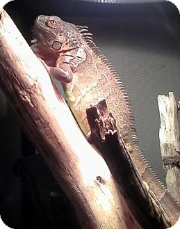 Iguana for adoption in Warwick, Rhode Island - Lucas