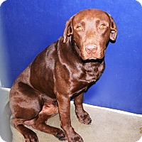 Adopt A Pet :: Chocolate Lab male - San Jacinto, CA