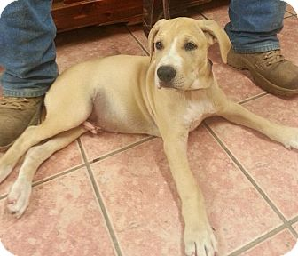 Labrador Retriever/Hound (Unknown Type) Mix Puppy for adoption in Mineral Wells, Texas - Fred