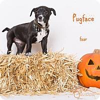 Adopt A Pet :: Pugface - Riverside, CA