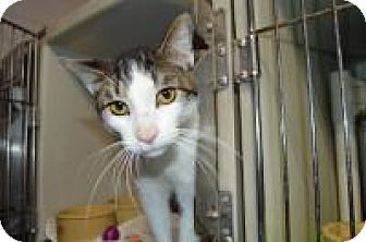 Domestic Shorthair Cat for adoption in Warren, Michigan - Lewis