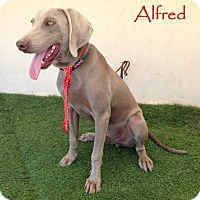 Weimaraner Dog for adoption in San Diego, California - Alfred