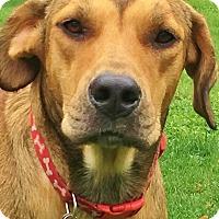 Adopt A Pet :: Bradford-sweet, social & smart - Snohomish, WA