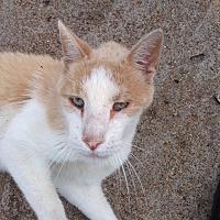 Domestic Shorthair Cat for adoption in St. Louis, Missouri - Floyd