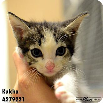 Domestic Mediumhair Cat for adoption in Conroe, Texas - FIONA