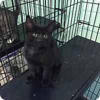 Domestic Shorthair Cat for adoption in Gainesville, Florida - Elliot