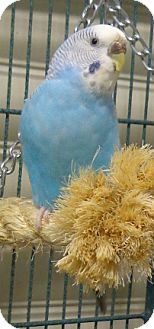 Budgie for adoption in Grandview, Missouri - Bruce and Mufasa