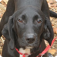 Labrador Retriever/Beagle Mix Puppy for adoption in Plainfield, Connecticut - Astro reduced for Christmas!