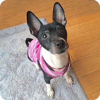 Rat Terrier Dog for adoption in Virginia Beach, Virginia - Nina (VA)