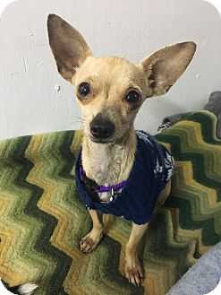Chihuahua Mix Dog for adoption in Houston, Texas - Grace