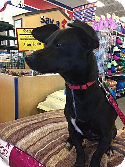 Chihuahua Mix Dog for adoption in Coeburn, Virginia - BEAN