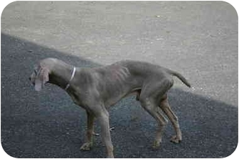 Weimaraner Dog for adoption in Attica, New York - Guy