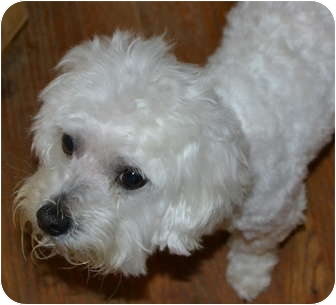 bichon frise maltese mix teddy adopted dog greensboro nc bichon frise 8992