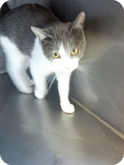 Domestic Shorthair Cat for adoption in Red Bluff, California - Abigail