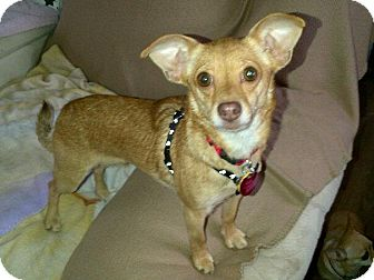 Chihuahua Mix Dog for adoption in South Amboy, New Jersey - Kitty