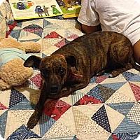 Adopt A Pet :: Giggles - Miami, FL