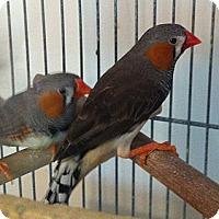 Adopt A Pet :: Kerry - Shawnee Mission, KS