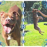 Adopt A Pet :: Boo Boo - Tampa, FL
