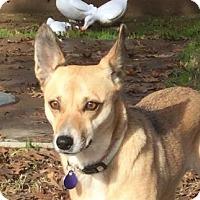 Adopt A Pet :: Asha - Fresno, CA