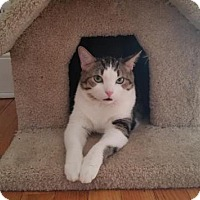 Adopt A Pet :: Charlie Cat - Crown Point, IN