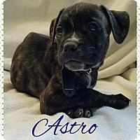 Adopt A Pet :: Astro - Garden City, MI