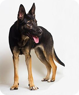 German Shepherd Dog Dog for adoption in Baton Rouge, Louisiana - Bella