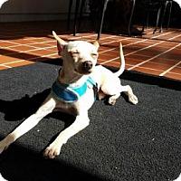 Chihuahua/Italian Greyhound Mix Dog for adoption in Columbia, Maryland - Charlie