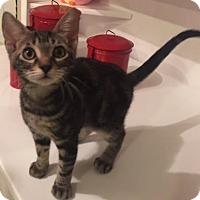 Adopt A Pet :: Indy - Bulverde, TX