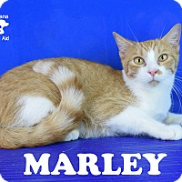 Domestic Shorthair Cat for adoption in Carencro, Louisiana - Marley