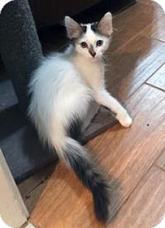 Turkish Van Kitten for adoption in Mission Viejo, California - Sharky and Mino