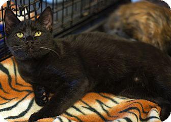 Domestic Shorthair Kitten for adoption in Mooresville, North Carolina - A..  Ferguson