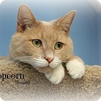 Adopt A Pet :: Popcorn - Glen Mills, PA