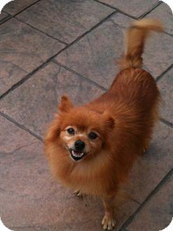 Pomeranian Dog for adoption in Hilliard, Ohio - Autumn
